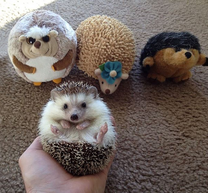 When The Parents Are Gone For The Day The Hedgehogs Will Play!