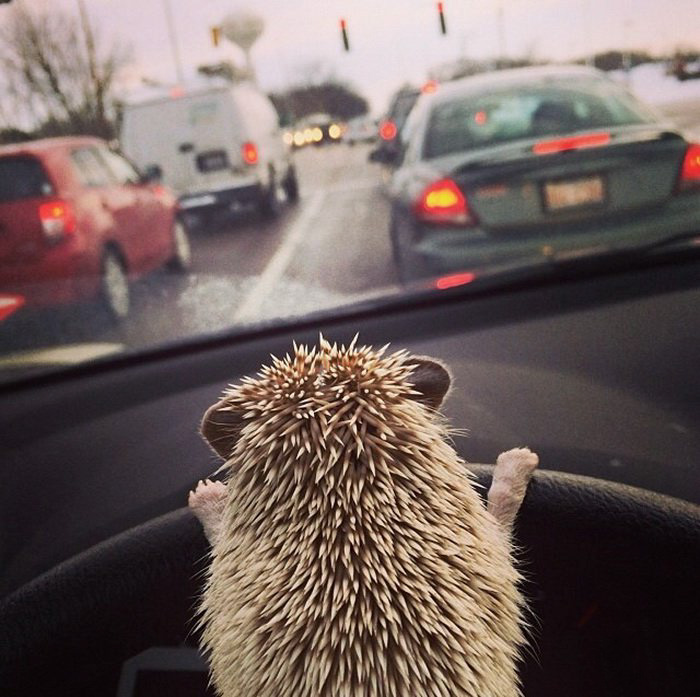 My Hedgehog Drives Me Everywhere