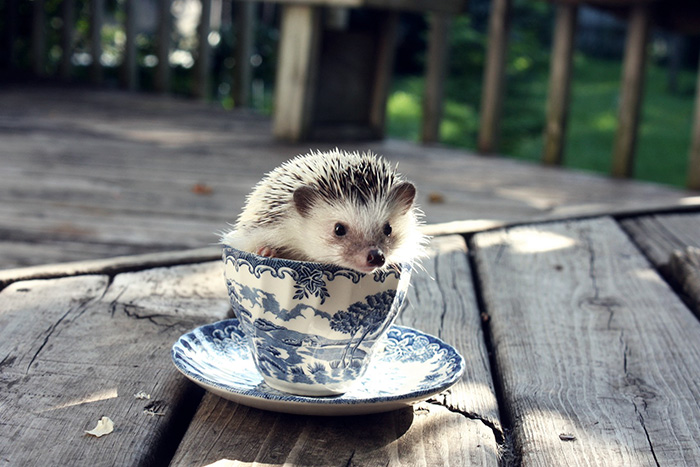 My Hedgehog, Jeffrey, In A Tea-cup