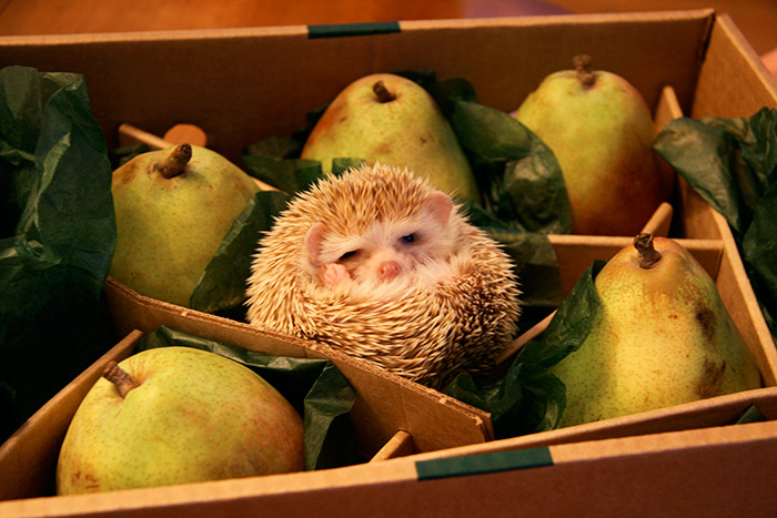 Silly Hedgehog, You're Not A Pear