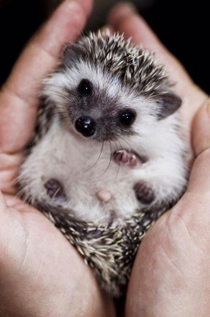 20+ Adorable Pics To Celebrate Hedgehog Day | Bored Panda