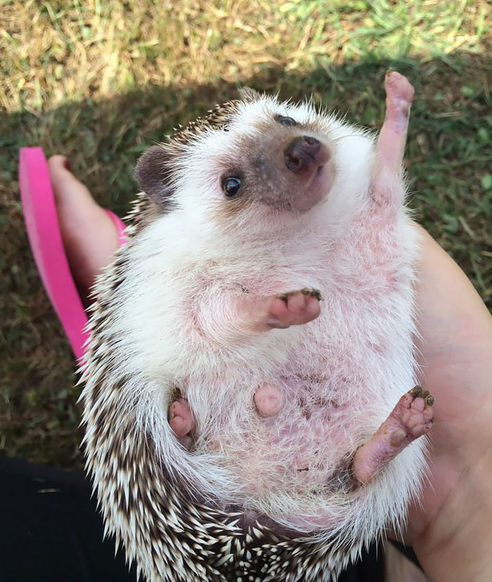 """I Showed My Friend (Who Owns A Hedgehog) The """"Enthusiastic Hedgehog"""" Meme. Two Days Later She Sent Me This Pic"""