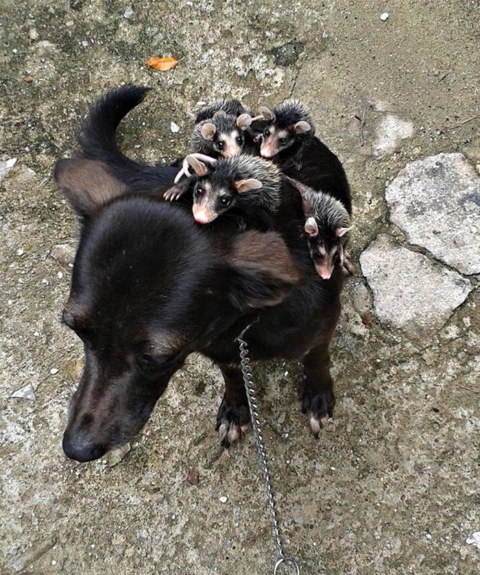 dog-adopts-opossums-baby-orphans-stephanie-maldonado-15