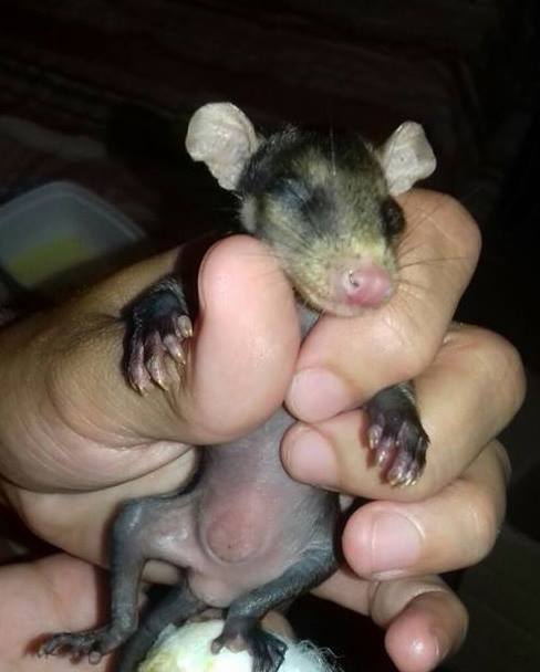 dog-adopts-opossums-baby-orphans-stephanie-maldonado-20