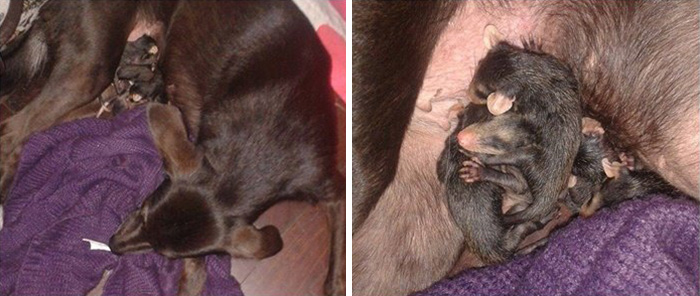dog-adopts-opossums-baby-orphans-stephanie-maldonado-21