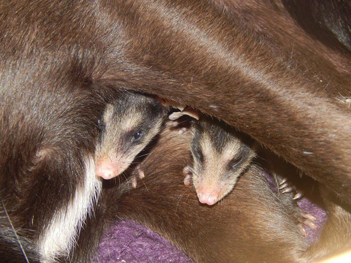 dog-adopts-opossums-baby-orphans-stephanie-maldonado-7