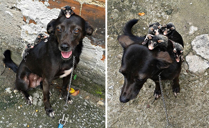 Dog Adopts Orphaned Opossums, Gives Them Awesome Rides On Her Back