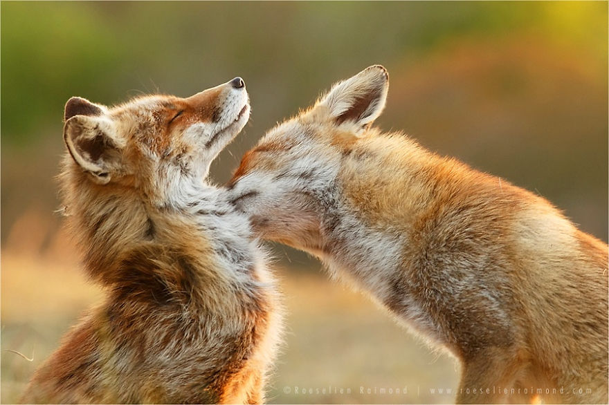 foxy love photographer proves that foxes are extremely loving