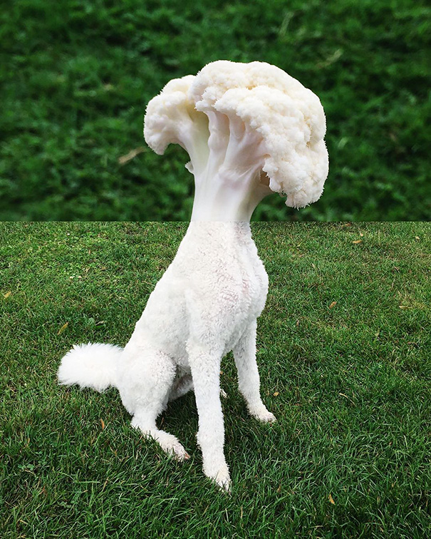 Cauliflower + Poodle