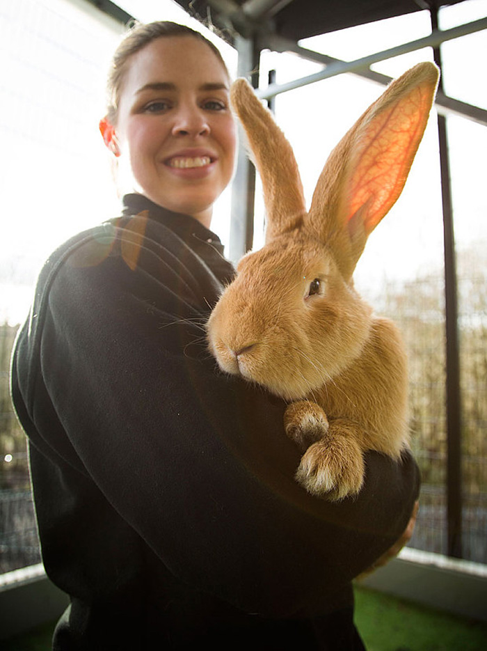 giant-rabbit-atlas-looking-for-home-scottish-spca-3