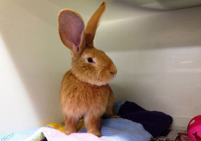 giant-rabbit-atlas-looking-for-home-scottish-spca-5