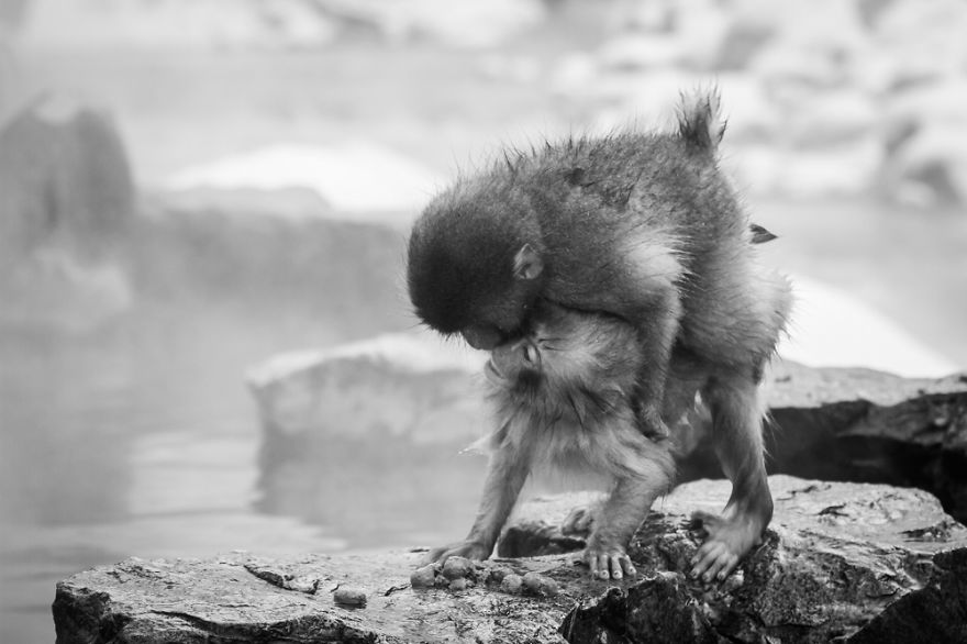Little Snow Monkeys, Japan.