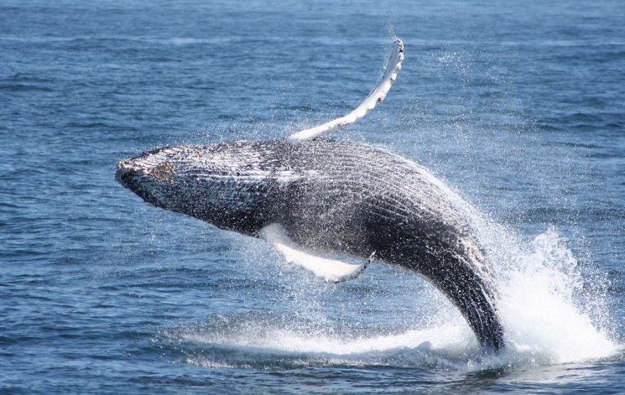 Humpback Breeches Off Cape Cod.