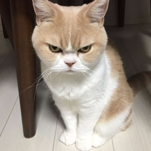 Meet Japanese Grumpy Cat, Who Is Even Grumpier Than The Original One