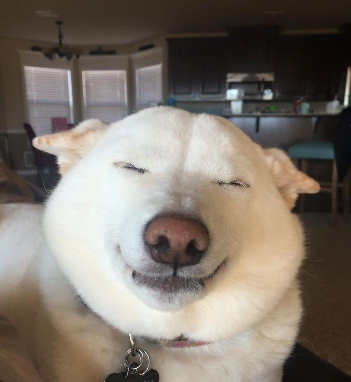 Kinta The Smiling Shiba Inu