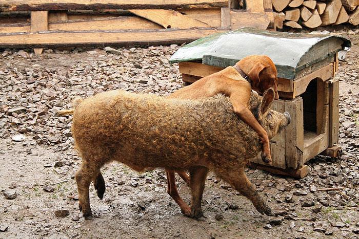 Mangalitsa Pig Playing With Koppány The Vizsla