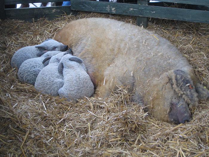 Mangalitsa Piglets Are Precious