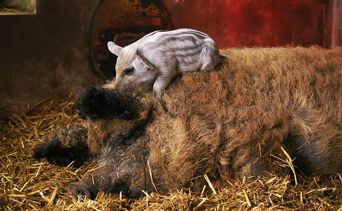 Mangalitsa Piglet With Very Woolly Parent