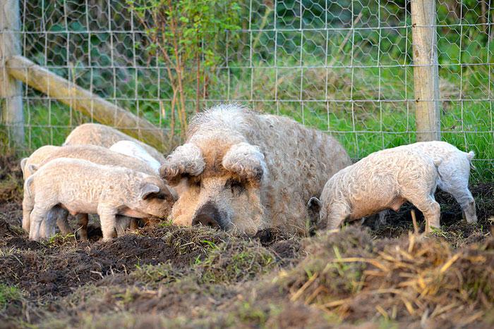Blonde Mangalitsa Pigs