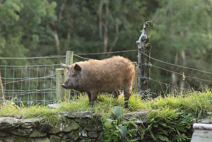 Mangalitsa Pig