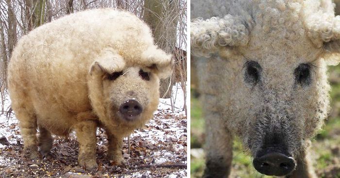 Dog Breed That Looks Like A Pig