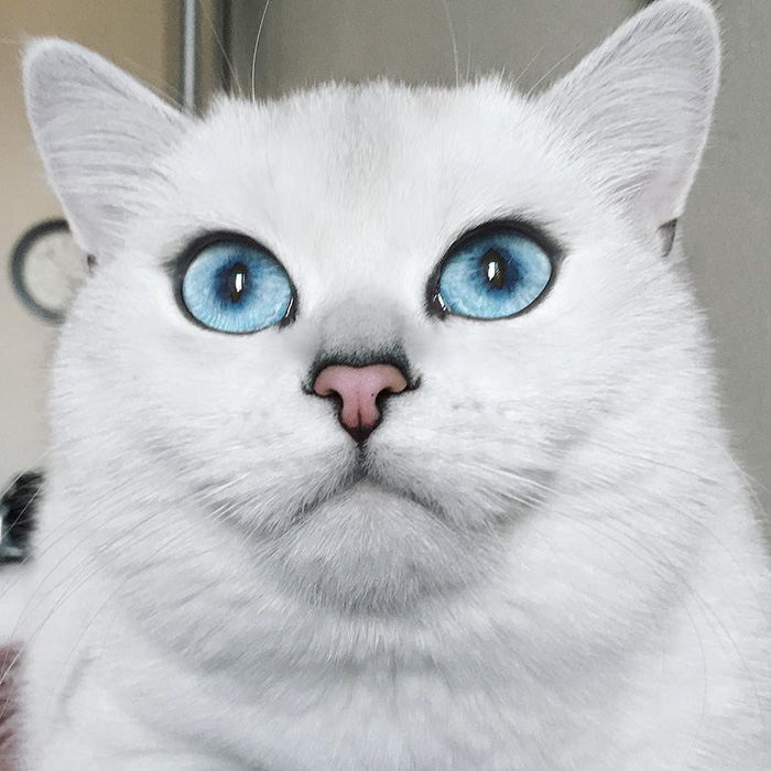 most-beautiful-eyes-cat-coby-british-shorthair-25