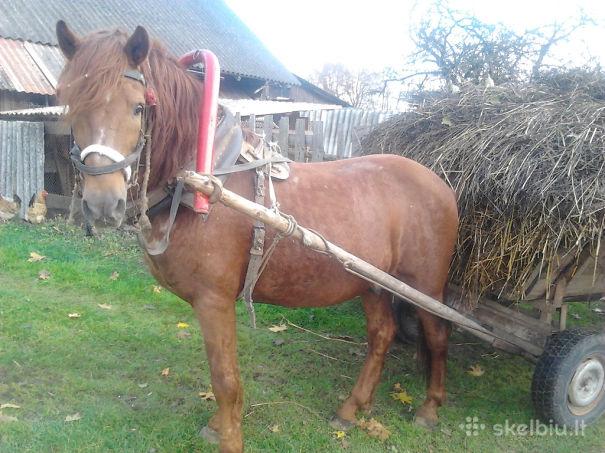 parduodamas-darbinis-arklys-12m.jpg