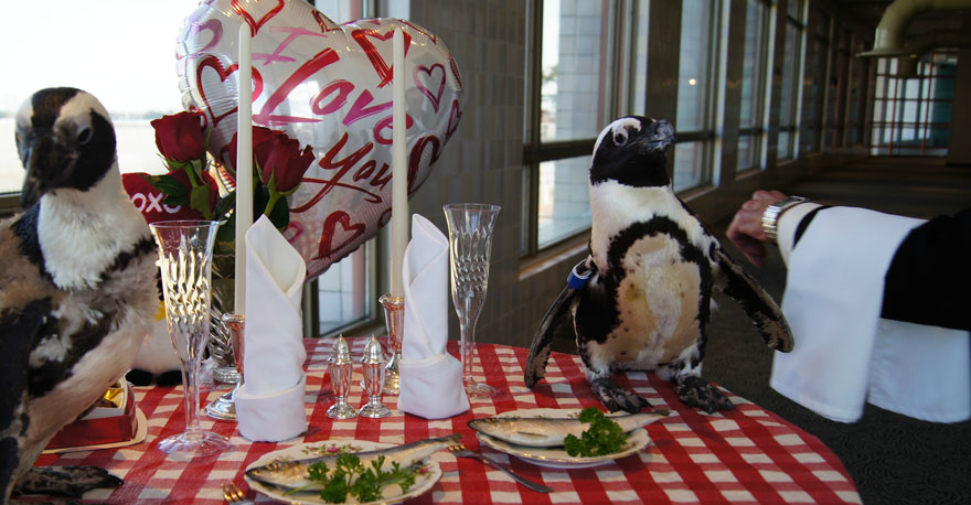 penguin-valentine-day-22nd-love-animal-couple-romantic-dinner-1