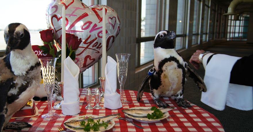 penguin-valentine-day-22nd-love-animal-couple-romantic-dinner-1