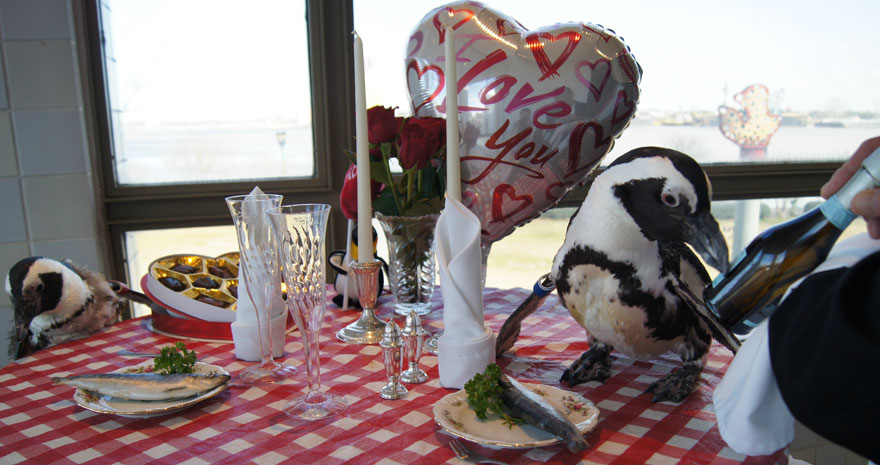 penguin-valentine-day-22nd-love-animal-couple-romantic-dinner-2