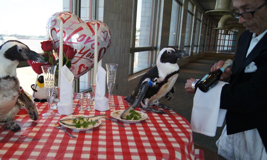 penguin-valentine-day-22nd-love-animal-couple-romantic-dinner-4