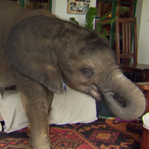 Baby Elephant Can't Stop Following Her Rescuer After Being Saved From Death