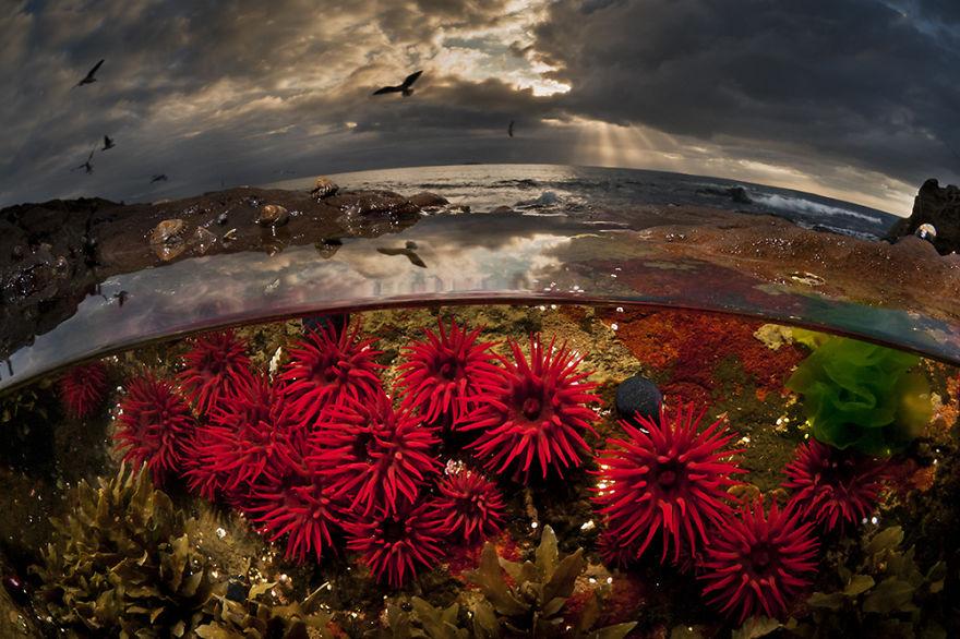 Crimson Tide: Waratah Anemones, Port Kembla, Nsw Australia