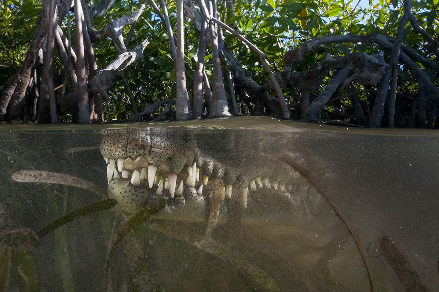 Your Move: American Crocodile, Jardines De La Reina, Cuba
