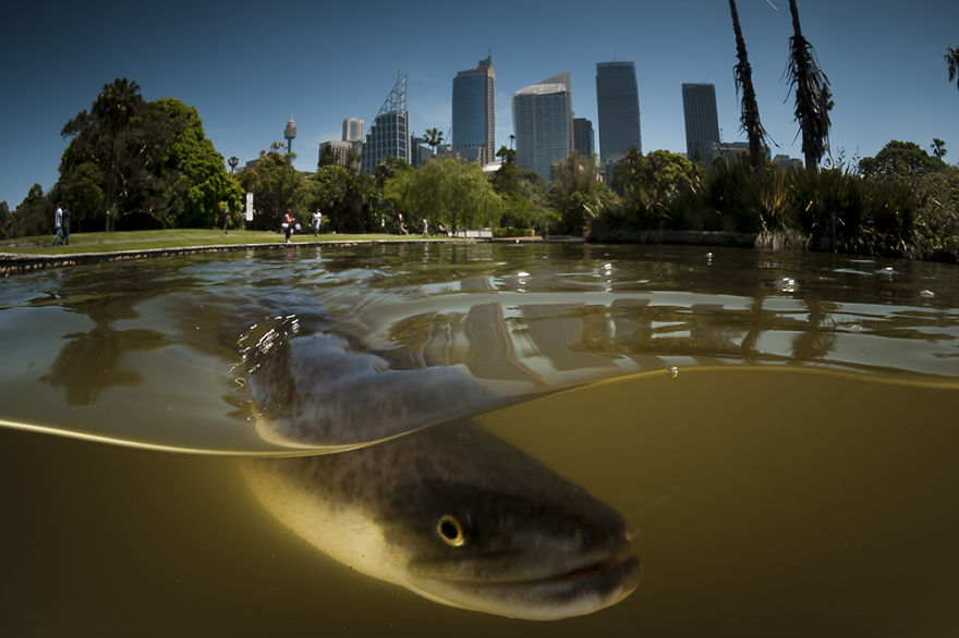 Legal Immigrant: A Long Finned Eel, Botanical Gardens, Sydney