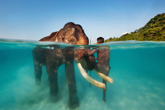 Rajan The Swimming Elephant