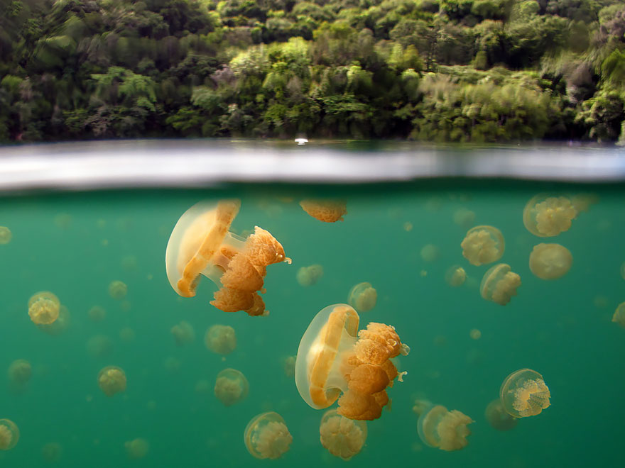 Jellyfish Lake, Rock Islands, Republic Of Palau