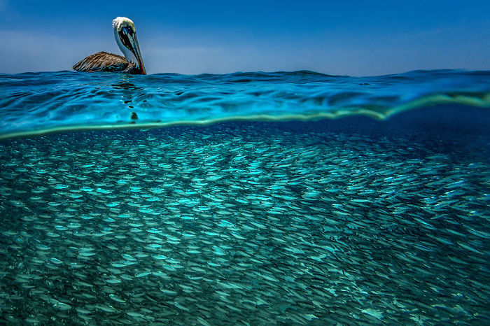 A Caribbean Brown Pelican Is Literally Floating On His Dinner