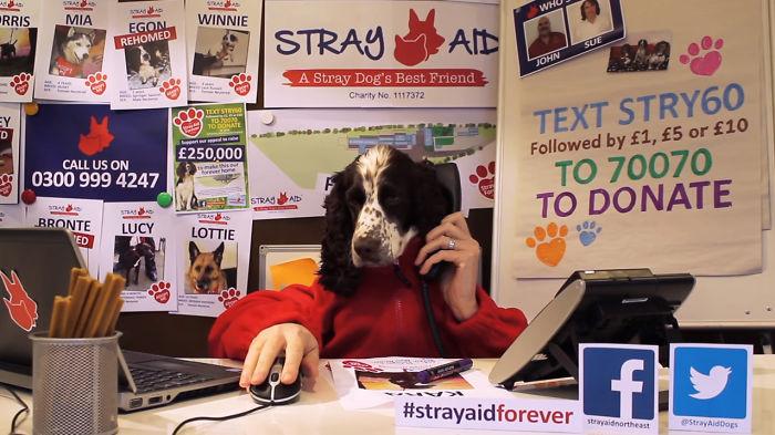Stray Aid Get A Sassy Springer Spaniel Receptionist