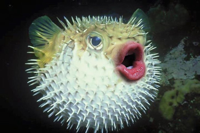 Put Donald Trump's Mouth On Puffer Fish