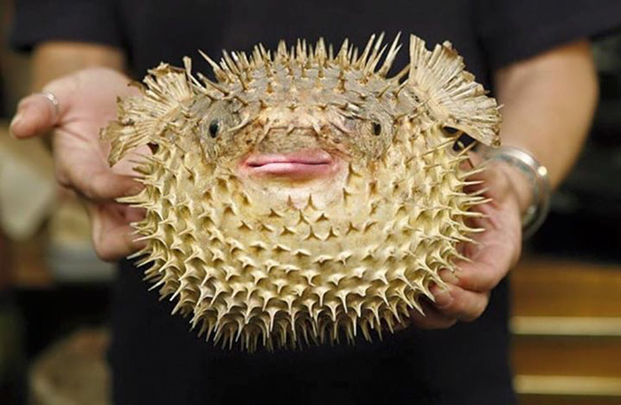a spiked puffer fish with donald trump's lips