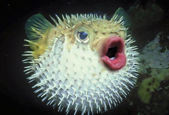 Newest Hobby: Putting Donald Trump's Mouth On Pufferfish (14 pics)
