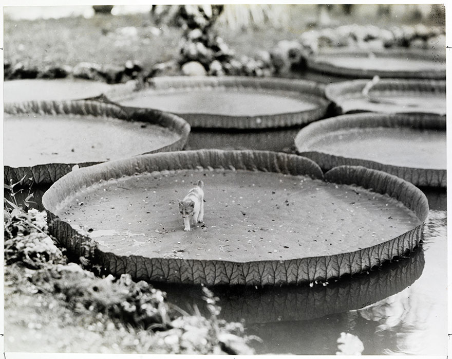 A Kitten Aboard A Floating Victoria Water Lily Pad In The Philippines, 1935