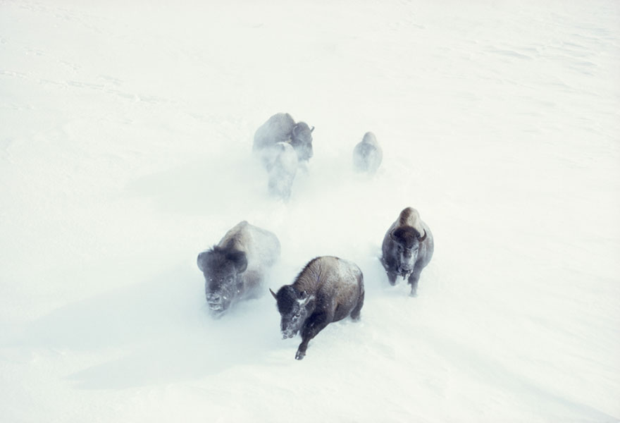 American Bison Charge Through Heavy Snow In Yellowstone National Park, November 1967