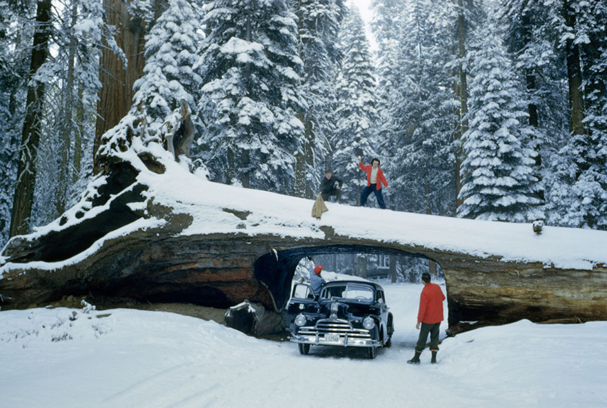 Tourists Explore Massive Dead Tree With Tunnel Cut Out For A Road In Sequoia National Forest, May 1951