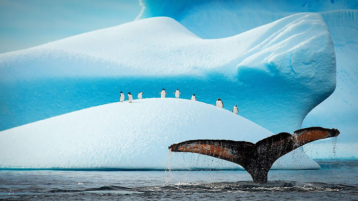 Gentoo And Adélie Penguins Watching Humpback Show