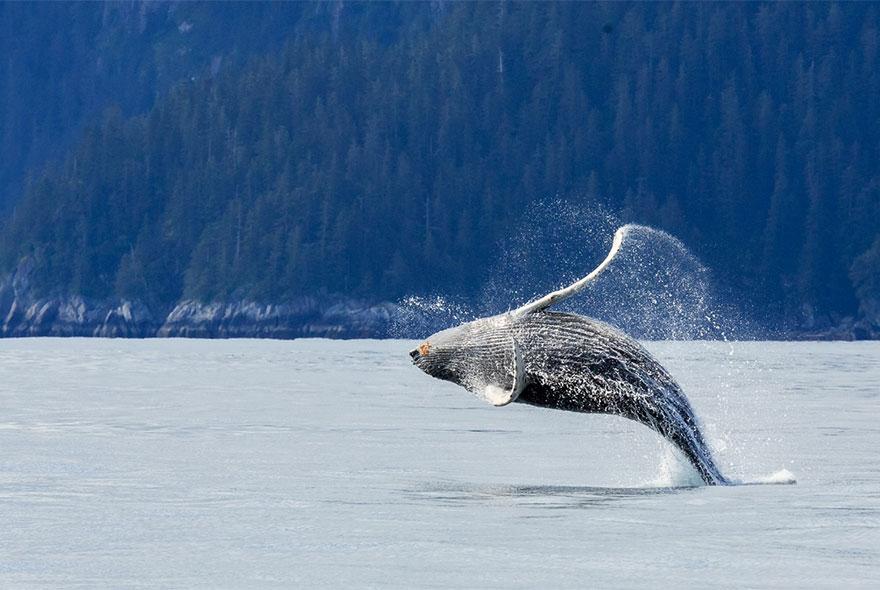 Whale - Dancer
