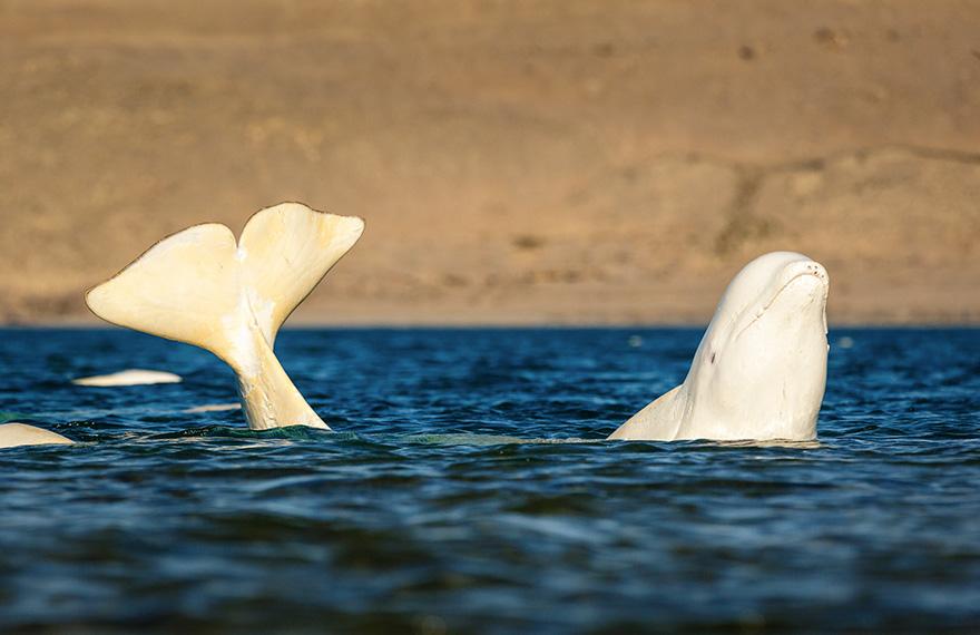 A Beluga Whale Banana's Itself While Rubbing Its Skin On The Rocks