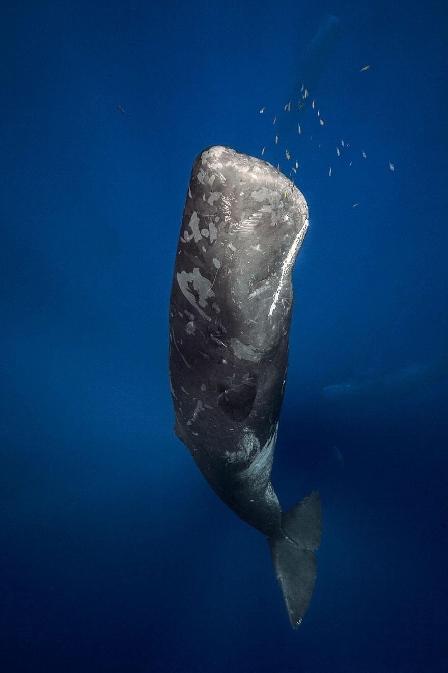Sperm Whale Near Mauritius Island Coast