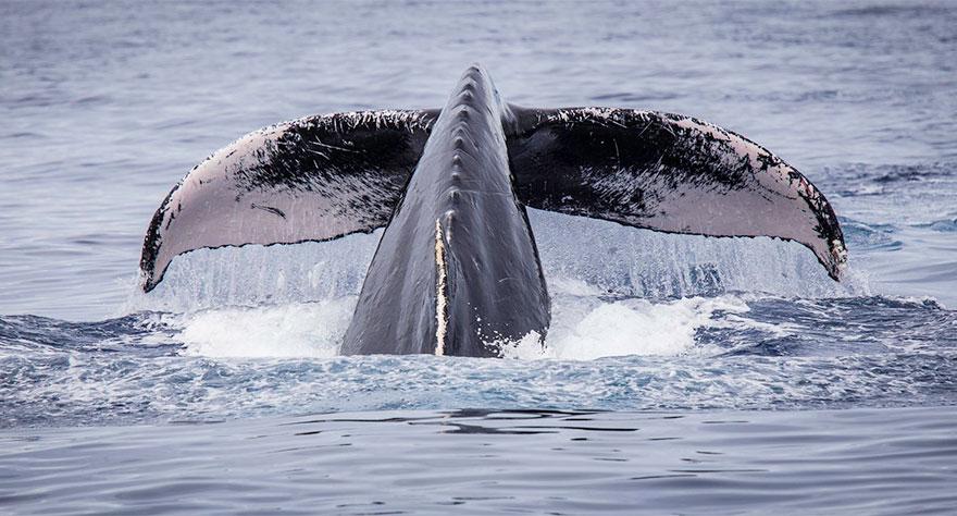 Humpback Whale Near Maui